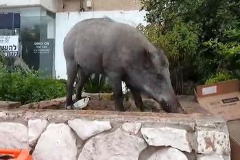 Дикий кабан напал на гулявшего с собачкой пенсионера из Хайфы